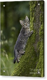 Kitten In A Mossy Tree Acrylic Print by Jean-Louis Klein & Marie-Luce Hubert