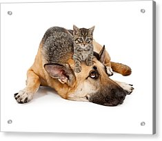 Kitten Laying On German Shepherd Acrylic Print by Susan Schmitz