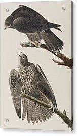 Labrador Falcon Acrylic Print by John James Audubon