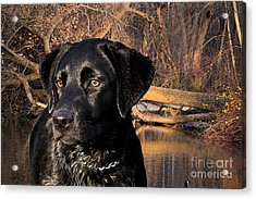 Labrador Retriever Acrylic Print by Cathy  Beharriell