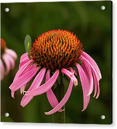 Lacewing On Echinacea Blossom Acrylic Print by Jean Noren