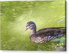 Lady Wood Duck Acrylic Print by Kate Brown