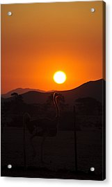 Landscapes - Ostrich Sundown Acrylic Print by Andy-Kim Moeller