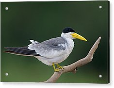 Large-billed Tern Phaetusa Simplex Acrylic Print by Panoramic Images