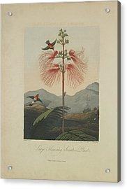 Large Flowering Sensitive Plant Acrylic Print by Robert John Thornton