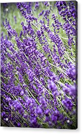 Lavender Acrylic Print by Frank Tschakert