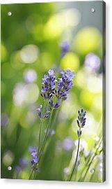 Lavender Garden Acrylic Print by Frank Tschakert