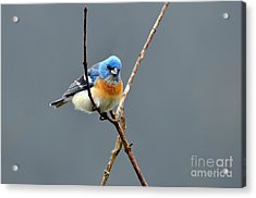Lazuli Bunting II Acrylic Print by Laura Mountainspring