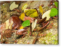 Leaf-cutter Ants Acrylic Print by B.G. Thomson