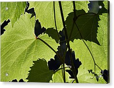 Leaves Of Wine Grape Acrylic Print by Michal Boubin