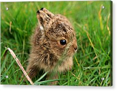 Leveret In The Grass Acrylic Print by Aidan Moran
