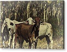 Life On The Farm V3 Acrylic Print by Douglas Barnard