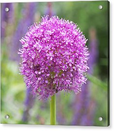 Lilac-pink Allium Acrylic Print by Rona Black