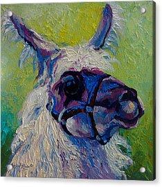 Lilloet - Llama Acrylic Print by Marion Rose