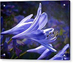 Lily Of The Nile Acrylic Print by Ellen Cotton