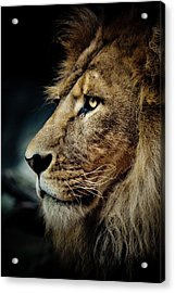 Lion Acrylic Print by Animus Photography