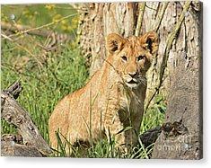 Lion Cub 2 Acrylic Print by Marv Vandehey