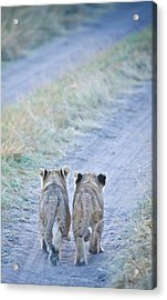 Lion Cubs Walking Together In Masai Mara Acrylic Print by Mehmed Zelkovic