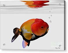 Lion-head Goldfish Acrylic Print by Corey Ford
