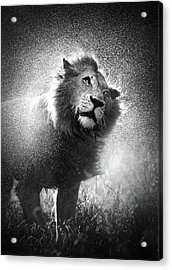 Lion Shaking Off Water Acrylic Print by Johan Swanepoel