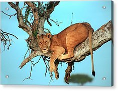 Lioness In Africa Acrylic Print by Sebastian Musial