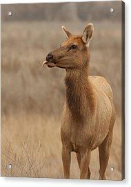 Lip Licking Tule Elk Merced County Ca Acrylic Print by Troy Montemayor