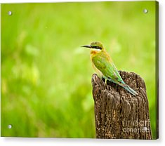 Little Green Bee-eater Acrylic Print by Venura Herath