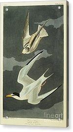 Little Tern Acrylic Print by John James Audubon