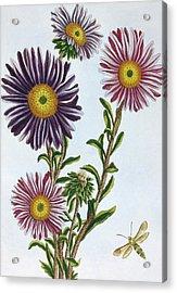 Livingstone Daisy Dorothanthus Acrylic Print by Pierre-Joseph Buchoz