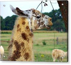 Llama Acrylic Print by Jai Johnson