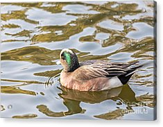 Lonely Wigeon Acrylic Print by Kate Brown