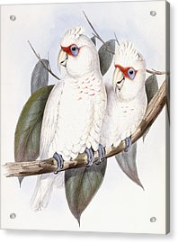 Long-billed Cockatoo Acrylic Print by John Gould