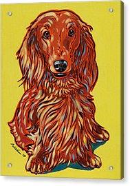 Long Haired Dachshund Acrylic Print by Nadi Spencer