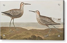 Long-legged Sandpiper Acrylic Print by John James Audubon