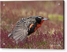 Long-tailed Meadowlark Acrylic Print by Jean-Louis Klein & Marie-Luce Hubert