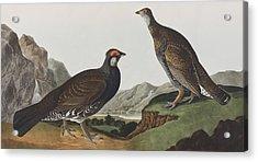 Long-tailed Or Dusky Grous Acrylic Print by John James Audubon
