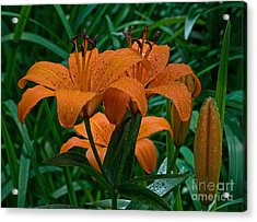 Long Valley Lily Acrylic Print by Robert Pilkington