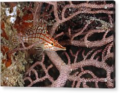 Longnose Hawkfish Hiding In Coral Acrylic Print by James Forte