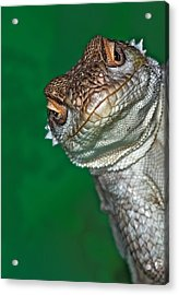 Look Reptile, Lizard Interested By Camera Acrylic Print by Pere Soler