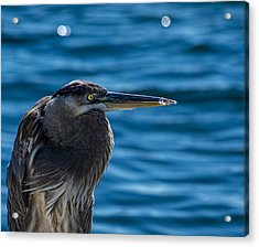Looking For Lunch Acrylic Print by Marvin Spates