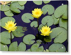 Loti In Lilly Pads Acrylic Print by Kristin Smith