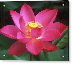 Lotus Blossom Acrylic Print by Elvira Butler