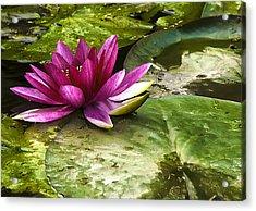 Lotus Acrylic Print by Svetlana Sewell