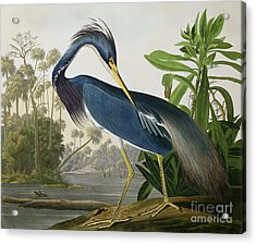 Louisiana Heron Acrylic Print by John James Audubon