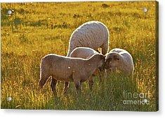Lovin Lambs Acrylic Print by Gus McCrea