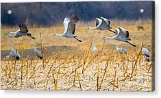 Low Level Flyby Acrylic Print by Mike Dawson