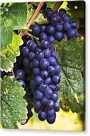 Luscious Grape Cluster Acrylic Print by Marion McCristall