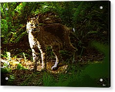Lynx Rufus Acrylic Print by David Lee Thompson