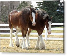 Magnificant Horses - The Clydesdales -9 Acrylic Print by Diane M Dittus