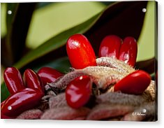 Magnolia Seeds Acrylic Print by Christopher Holmes
